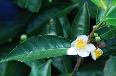 Chương trình dùng thử lá trà xanh sạch Hồng Lam