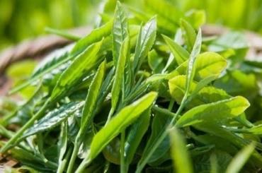 Cách làm bột trà xanh đắp mặt