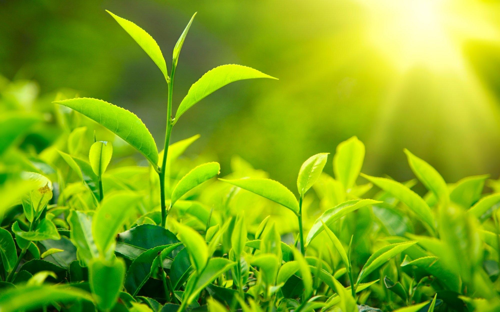 Lá trà xanh sạch thuần tự nhiên Hồng Lam - 1kg